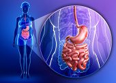 Постер, плакат: Small Intestine Anatomy Of Female