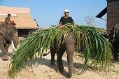 The Annual Elephant Roundup In Surin 2010