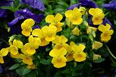 Bright Yellow Pansy Flowers.