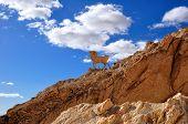 Statue of a mountain goat in Chebika, Tunisia
