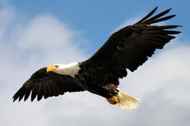pic of eagles  - An american Bald eagle soaring above a cliff in Dutch Harbor - JPG
