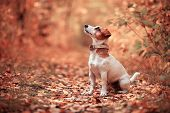 Dog at autumn. Jack russel terrier outdoors. Pet.  poster