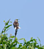 picture of meadowlark  - Eastern meadowlark singing from atop of a tree - JPG