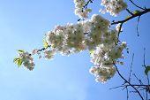 Beauty Of Sakura