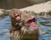 Baby Japanese Macaque Monkey