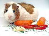 image of guinea pig  - guinea big with carrots apple and grass - JPG