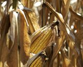 Fall Harvest:  Corn