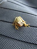 Tree Frog Posing