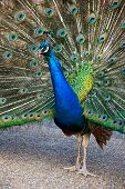 Male Peacock With Open Tail.