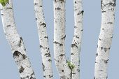 Birch Trunks (isolated)