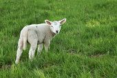 Inquisitive Young Lamb