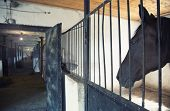 image of hackney  - Black horse in the stable - JPG