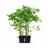 image of tomato plant  - Six healthy tomato plants ready for the garden - JPG