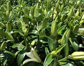 Fresh Green Unopened Asiatic Lily Buds In A Garden poster