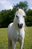 Flea-bitten grey pony