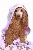 Toy poodle After Bath