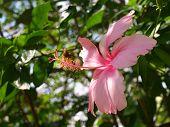Hibicus Rosa está floreciendo