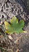 Green Maple Leaf With Touch Of Yellow On Edges Of Leaf. Fall Leaf Closeup On Ground Near Tree Trunk  poster