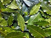 Bay Leaf Or Laurel (laurus Nobilis) Pattern Texture Background. Organic Fresh Green Bay Leaves From  poster
