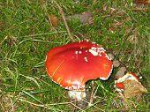 Poisonous Fungi Russula Mairei