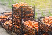 Freshly Harvested Carrots In Boxes. Eco Friendly Vegetables Ready For Sale. Summer Harvest. Harvesti poster
