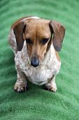 Dachshund Puppy Portrait Green Background Day Light poster