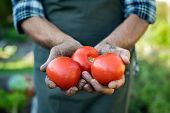 Farmer hands with freshly harvested tomatoes. Closeup dirty old hands holding three red juicy tomato poster