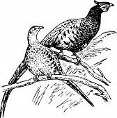 Bird phasianus