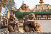 Monkey Mother Holding Her Baby Near The Temple In Kathmandu, Nepal. Monkeys In Kathmandu. Nepal. A S poster