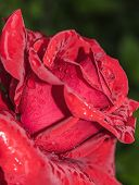 Natural Bright Roses Background. Bright Red Rose For Valentine Day. Closeup, Macro Shot. Red Rose Fl poster