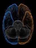 Hemispheres of the brain bottom view