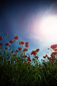 Flowers Red Poppies Blossom On Wild Field. Beautiful Field Red Poppies Against Blue Sky. Red Poppies poster