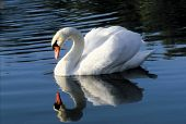 Reflection Swan