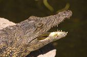Cabeça de um jacaré (Alligator Mississippiensis)