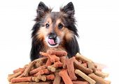 stock photo of sheltie  - Beautiful Sheltie licking his nose with dog bone shaped treats or biscuits - JPG