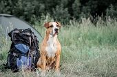 Backpack Hiking With A Dog: Staffordshire Terrier Sits Next To A Tourist Backpack At A Camping Site. poster