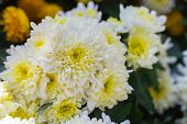 White Yellow Flower. Flower In Garden At Sunny Summer Or Spring Day. Flower For Postcard Beauty Deco poster