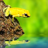 The frog (Dendrobates)