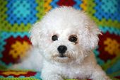 Purebred Bichon Frise. Beautiful White Bichon Frise Dog on a colorful crochet blanket background.  poster