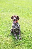 German Shorthaired Dog Is Sitting On The Grass And Looking Closely At The Camera poster