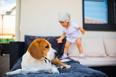 Beagle Dog And Baby Girl Having Fun. Dog Resting On A Garden Sofa. Baby Walks In Background. Concept poster