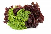 Lettuce variety of lollo rossa, red and green batavian, grown in the same plant isolated over white background.