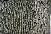 Monochrome Green Gray Color Textured Background Of Wrinkled Wood Bark Surface. Rough Texture Of Old  poster