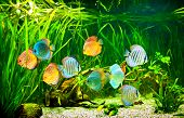 picture of green algae  - Symphysodon discus in an aquarium on a green background - JPG