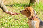 Beagle Sniffing Dry Food For Pet. Beagles Are Fed From The Hands poster