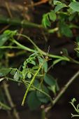 Stick insect (Periphetes forcipatus). Wildlife animal. poster