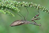 Pregnant Mantis