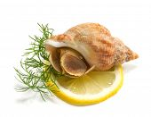 stock photo of whelk  - whelks with dill and lemon on a white background - JPG