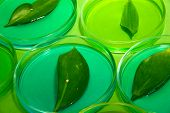 stock photo of modifier  - Genetically modified leaves tested in petri dishes - JPG