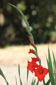 Tall Vertical Red Gladiolus Bud To Bloom